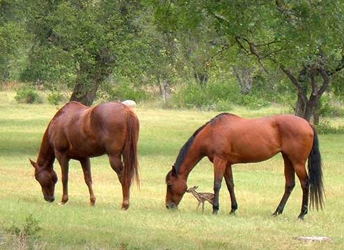 Upcountry horses with fawn